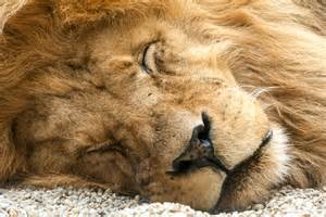 a lion was asleep picture 9