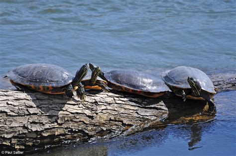diet of the river cooter turtles picture 8