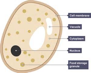 yeast cell use sugar as food source picture 9