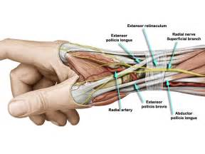forearm muscle anatomy picture 7