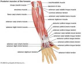 forearm muscle anatomy picture 1