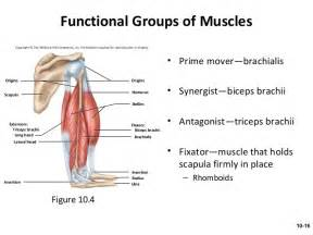 agonist and antagonist muscles list picture 6