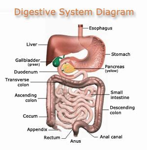 intestinal tract picture 7