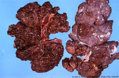 canine cirrhosis of the liver picture 13