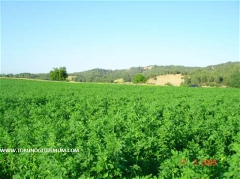 alfalfa seed for sale picture 17