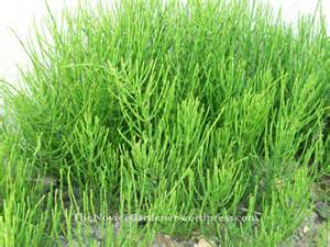 horsetail shavegr cultivation picture 1