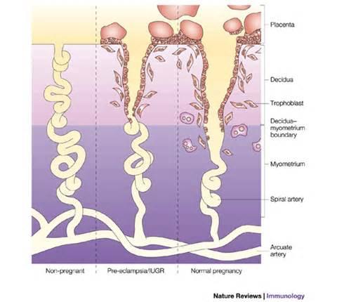 Blood flow around uterus pregnant picture 3