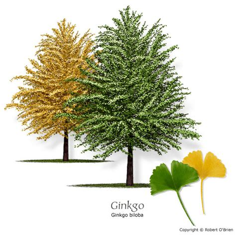 buy male ginkgo tree picture 6