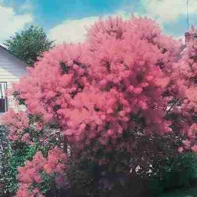 pink mist smoke tree picture 2