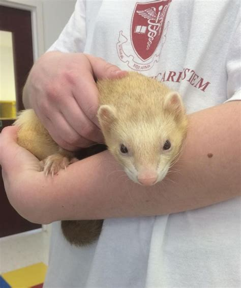 what to feed my ferret to help him picture 6