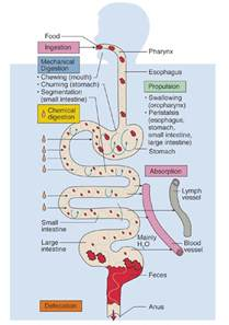 gastrointestinal tract anatomy and physiology in rodents picture 2