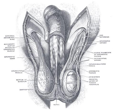 bolitas piercing penis picture 3