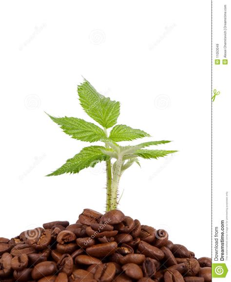 green coffee beans for raising glutathione picture 8