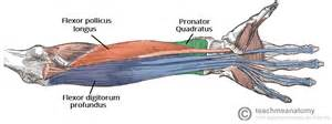 forearm muscle picture 17