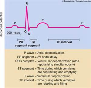 does ecg directly measure action potentials in muscle picture 12
