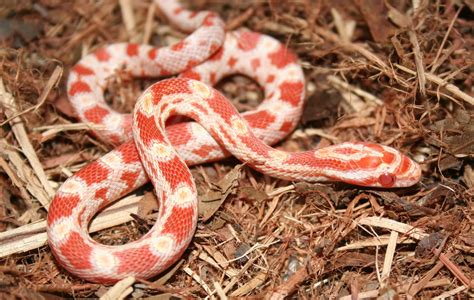 pictures of corn snake h picture 5