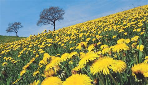 dandelion to cleanse the liver picture 10