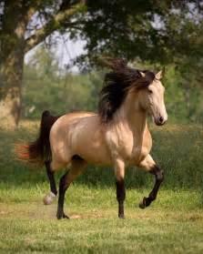 buck skin horse picture 3