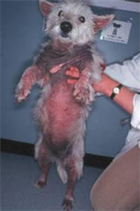 dog skin allegies picture 1