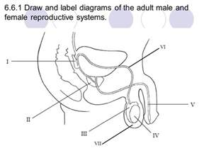 jakol i male reproductive systems picture 5