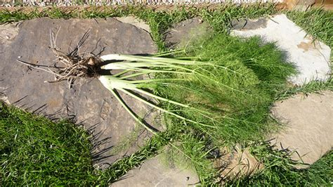 when to pick fennel picture 15