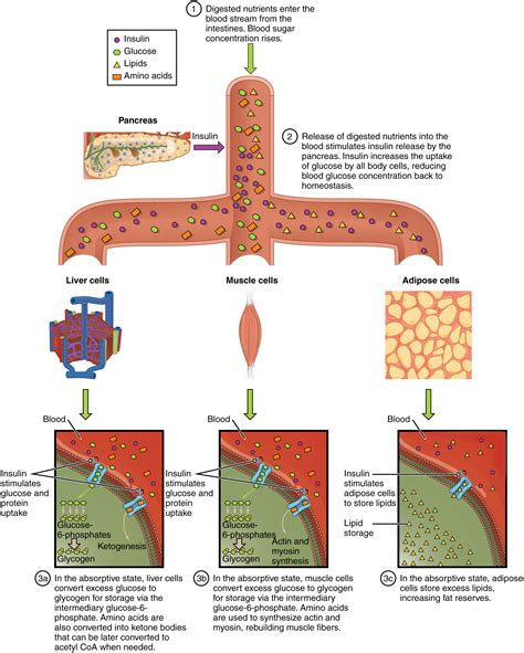 what nutrients does the liver need to metabolize picture 7