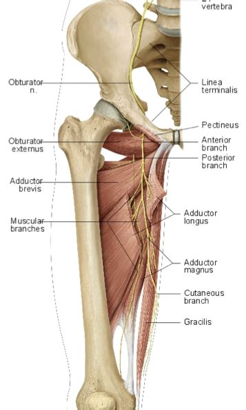 gluteus medius muscle picture 7