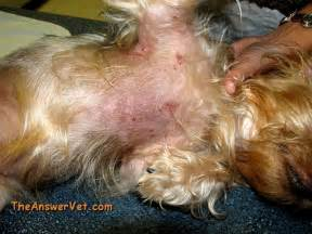 cause of skin mites in dogs picture 2