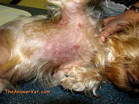 pictures of skin mites on dogs picture 7