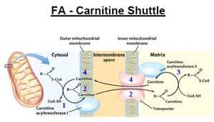 carnitine feline picture 9