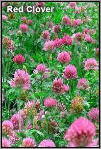 red clover tea ivf picture 18