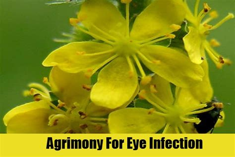 chinese herb for eye infection picture 10