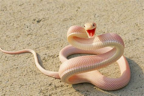 actual pictures of snakes teeth picture 1