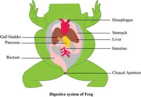 frog digestion picture 11