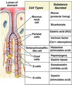 gastrointestinal secretions picture 10
