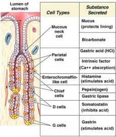 gastrointestinal secretions picture 6