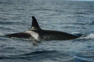 killer whale h picture 9