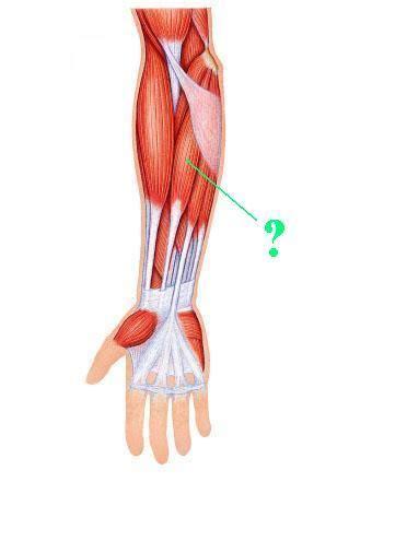 flexor carpi radialis muscle picture 6
