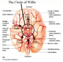 blood flow to the brain picture 9