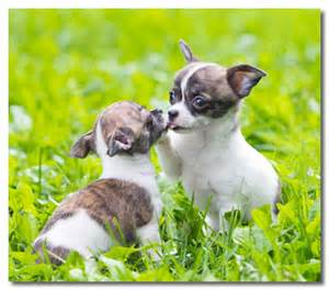 how do you clean chihuahua puppies' h picture 15