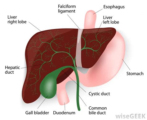where is the gall bladder picture 13