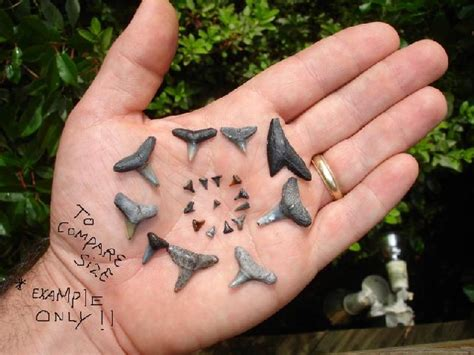 fossilized shark h picture 7