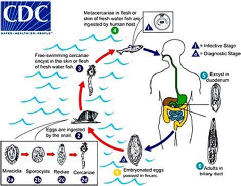 clostridium and liver damage picture 10