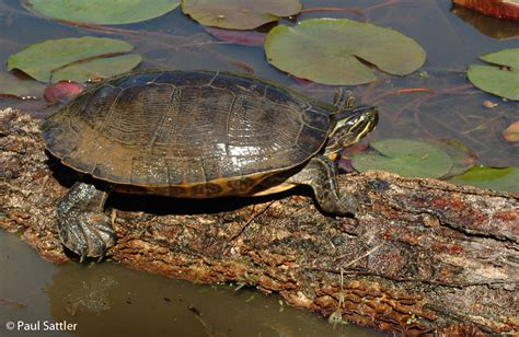diet of the river cooter turtles picture 4