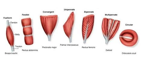 antagonist muscle pairs list picture 3