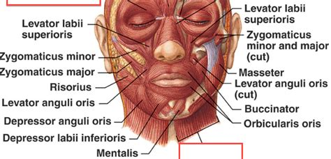 facial anatomy lips picture 15