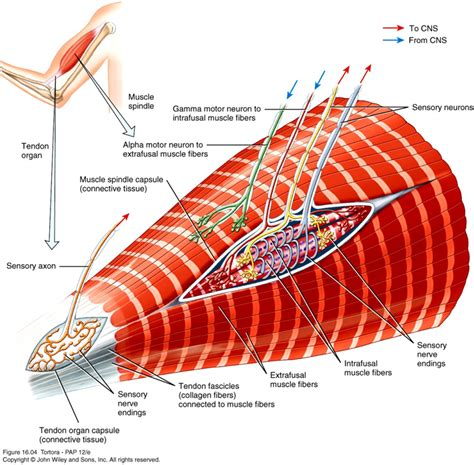 alpha receptors and skeletal muscle picture 10