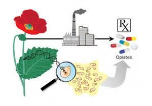herbal alternative opioids 2014 picture 5