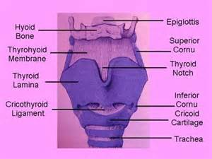 anatomy thyroid picture 18