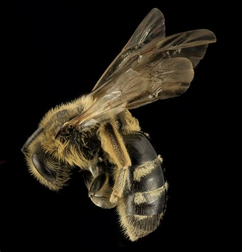australian hair bee picture 6